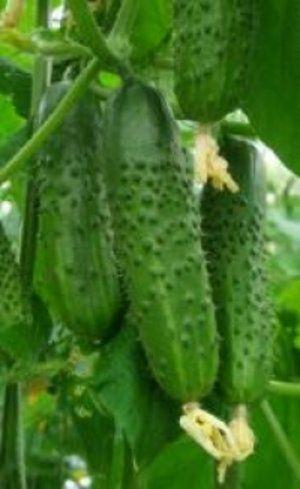 «Брагантіно» дає дуже багато плодів