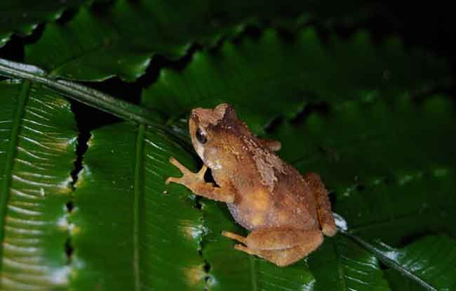 Живородна жаба фото