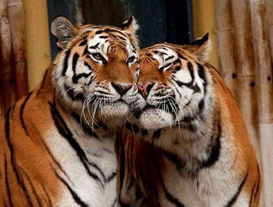 тигри фото