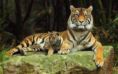 тигриця з тигреням фото