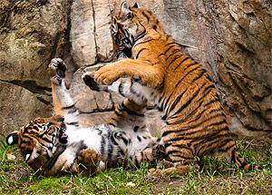 тигренята фото