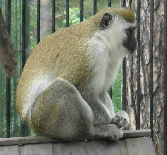 Зелена мавпа.