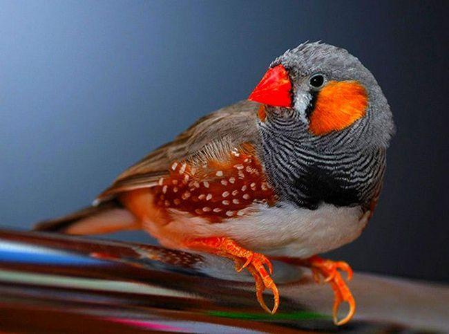 Птах ткачик.
