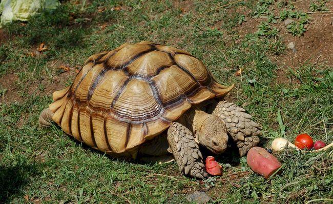 Африканська черепаха Testudo sulcata.