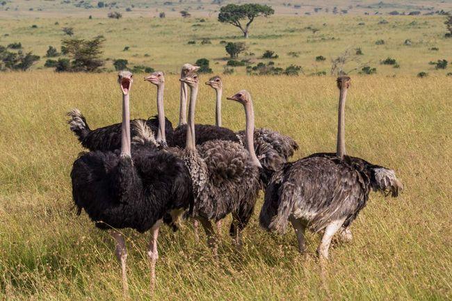 Африканський страус.