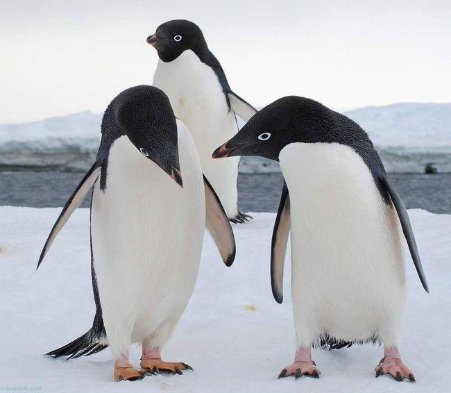 Пінгвіни Аделі, любов яких можна купити за красивий камінчик.