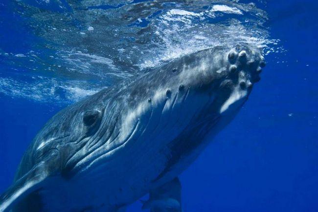 Великий синій кит - представник сімейства вусатих китів.