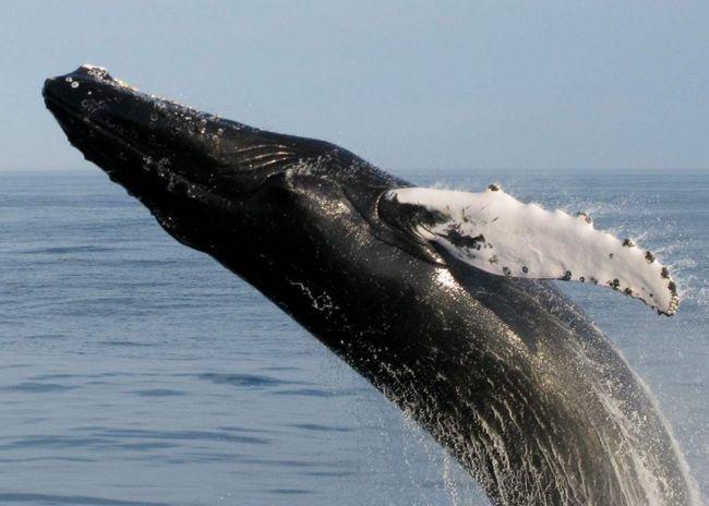 Ці підводні мешканці харчуються рибою, головоногими і в деяких випадках морськими ссавцями.