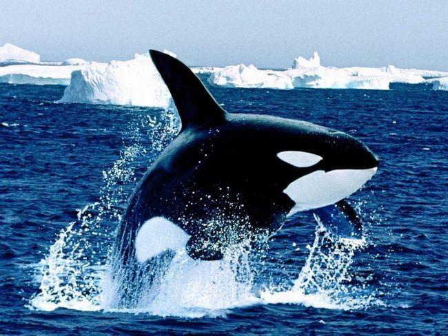 Косатки - величезні соціальні антарктичні мешканці.