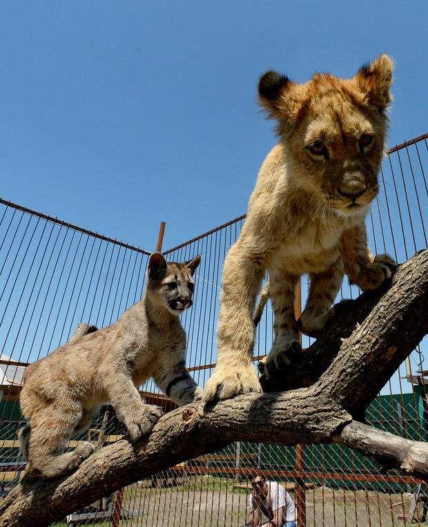 Приморський зоопарк подружив пуму Принц Фору і левеняти Арісто.