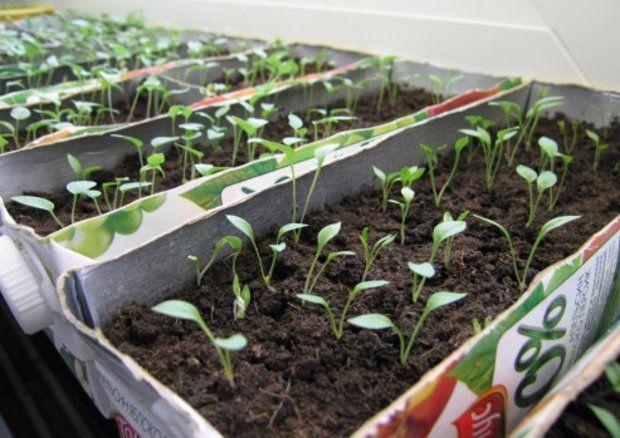 вирощування розсади