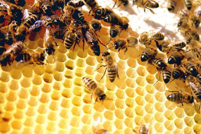 Бджолина ієрархія - у чому її секрет?