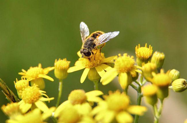 Життя робочої бджоли - щоденна праця.