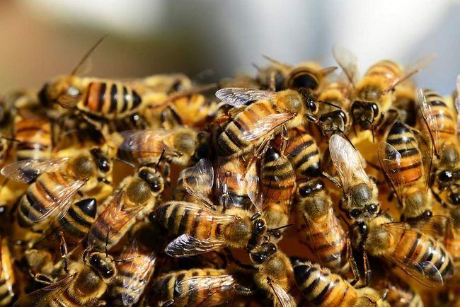 Робочі бджоли в вулику.