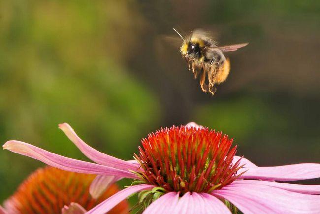 Збір нектару робочої бджілкою.
