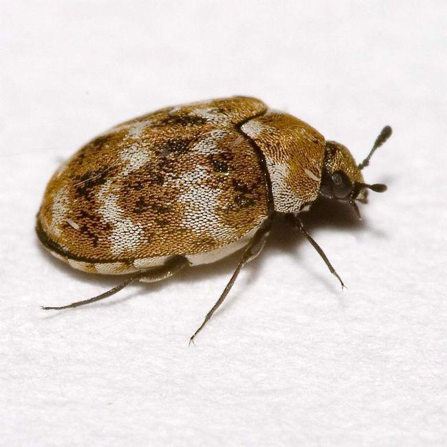 Музейний жук (Anthrenus museorum).
