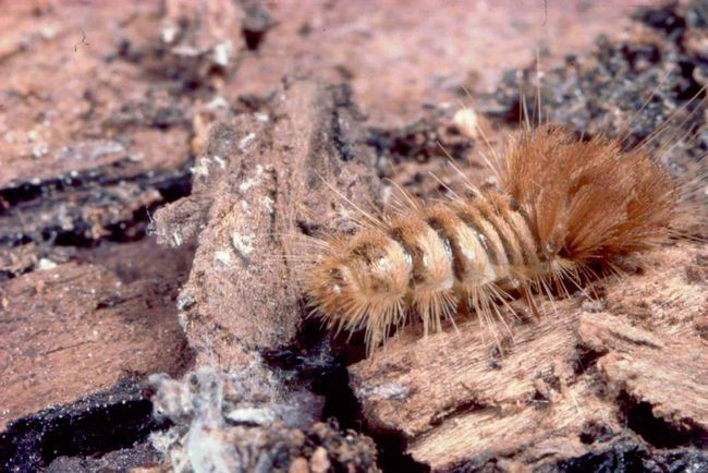 Личинка музейного жука.