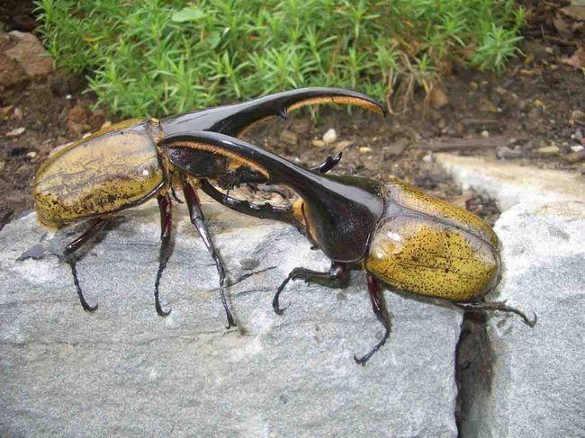 Нерідко самці влаштовують бої за самок або територію.