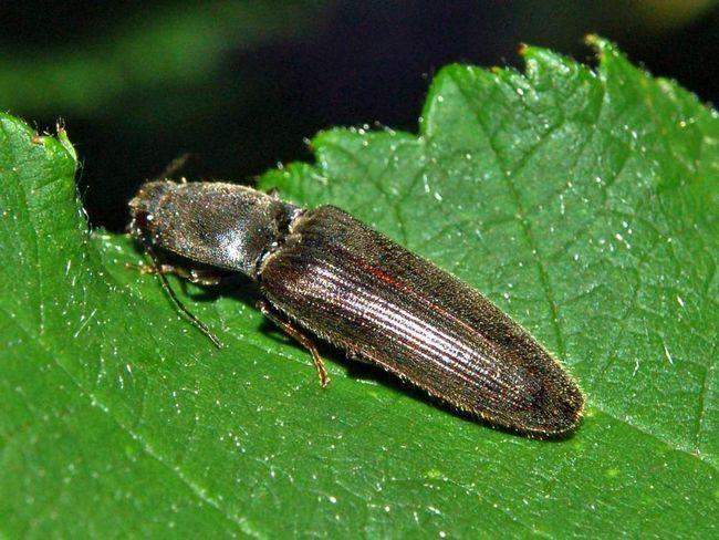 Жук-щелкун (Elateridae).