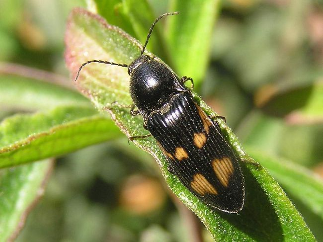 Забарвлення жуків-коваликів дивує різноманітністю.