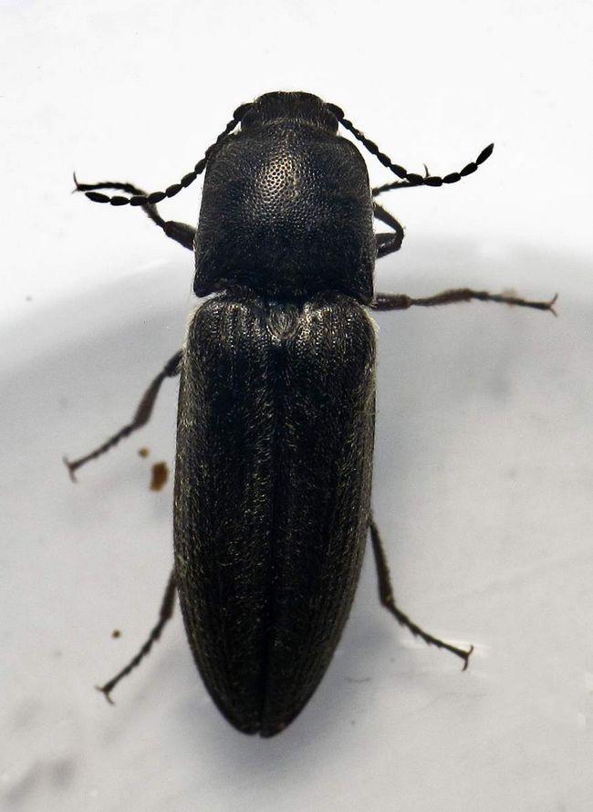 Жуки-ковалики можуть бути шкідниками на стадії личинки.