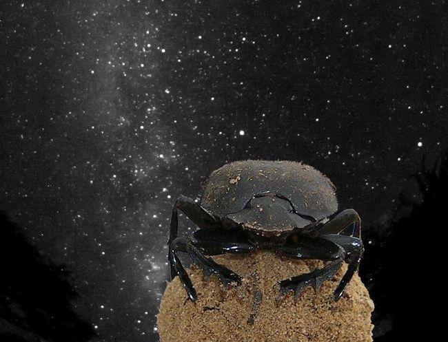 Жуки-скарабеї орієнтуються по зірках