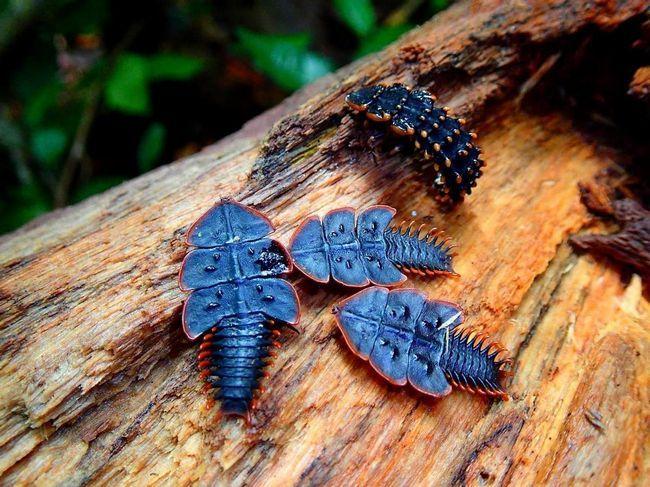 Цей вид жуків харчується комахами, що живуть в гнилій деревині.