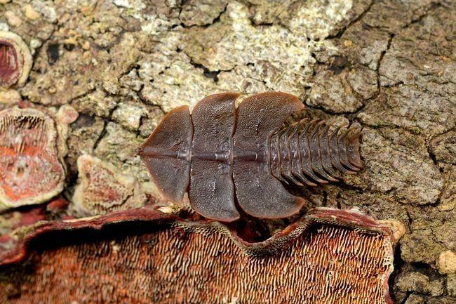 Жуки-трилобіти - досі невивчений вид комах.