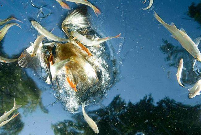 Зимородок - майстер підводного лову