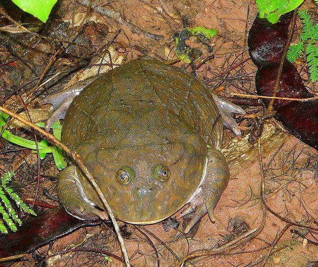 Щиткова жаба звичайна: на кого злиться жаба баджіта?