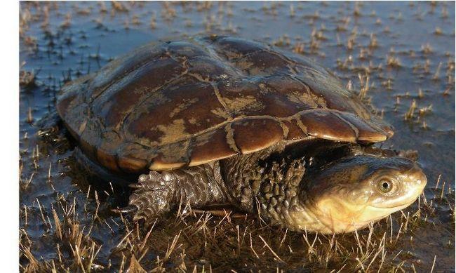 Західна болотна черепаха (Pseudemydura umbrina)