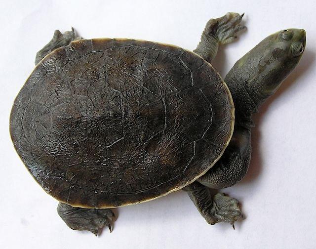 Гігантська змеиношейние черепаха (Macrochelodina expansa)
