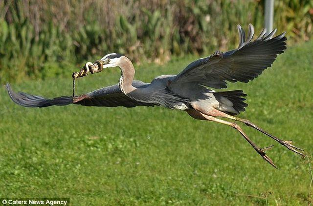 Змія обвилася навколо дзьоба чаплі не бажаючи стати обідом для птиці