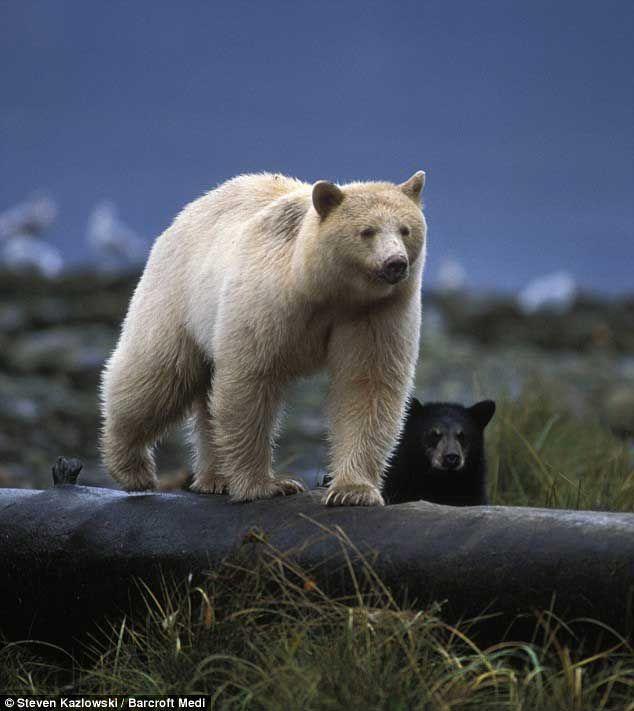 Кермодський ведмідь. Kermode bear