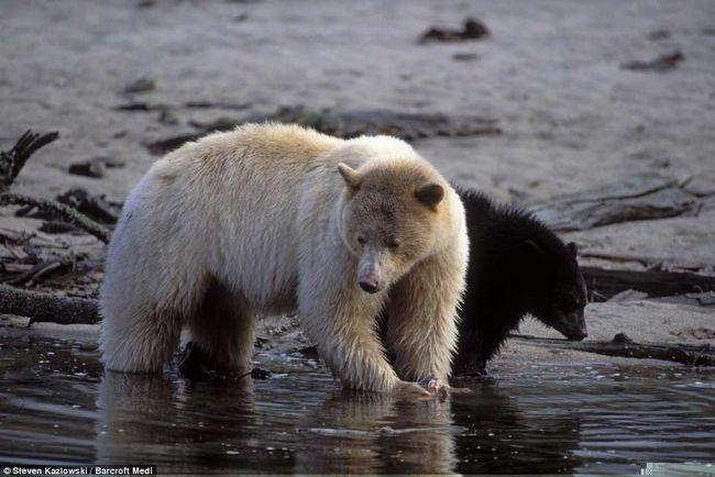Ведмедиця з медвеженка