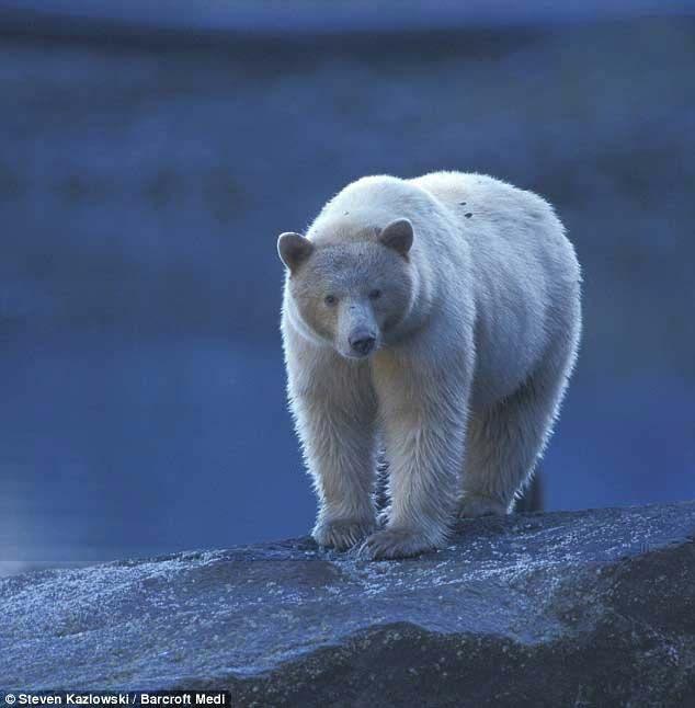 Кермодская ведмедиця