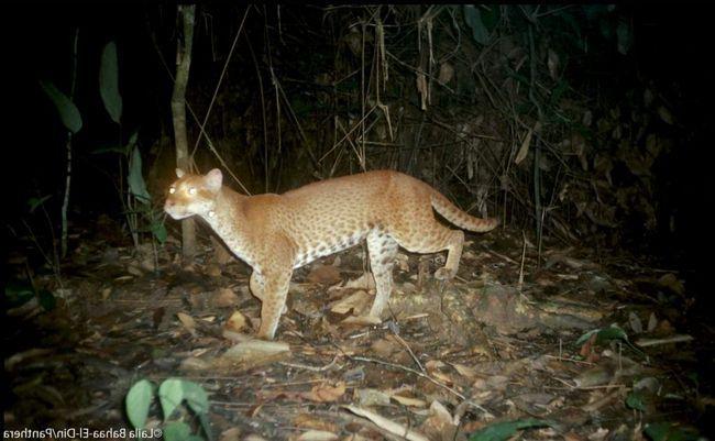 Нічне полювання золотий кішки.
