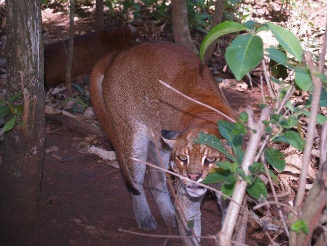 Африканська золота кішка воліє відокремлений спосіб життя.