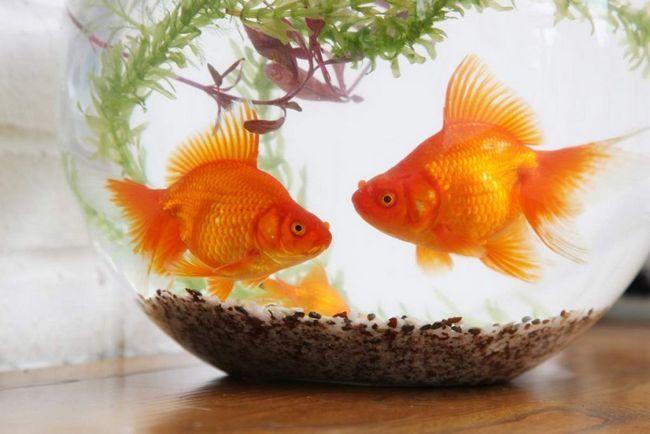 Золота рибка (Carassius auratus).