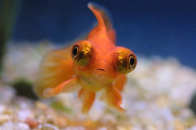Телескоп - золота рибка з неймовірно великими вічками.