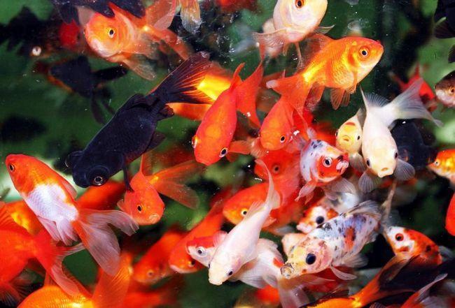 Всі види золотих рибок мають миролюбним характером.