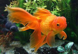 Золота рибка оранда