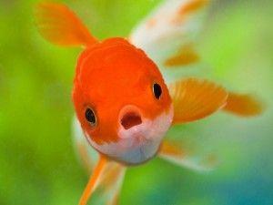 золоті рибки хвороби
