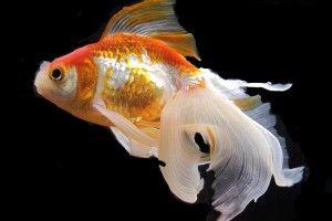 Золоті рибки: вміст у домашніх умовах