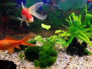 Сумісність золотих рибок