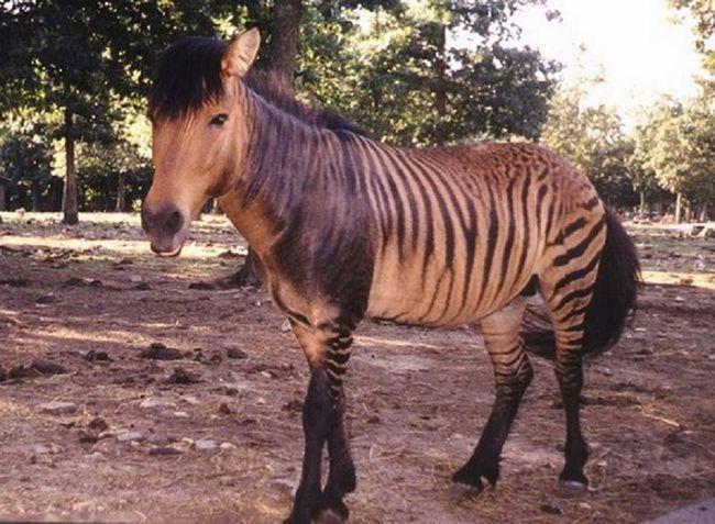 Відомо, що гібриди - зони - дуже полохливі і агресивні тварини. Людині наблизитися до них майже неможливо.