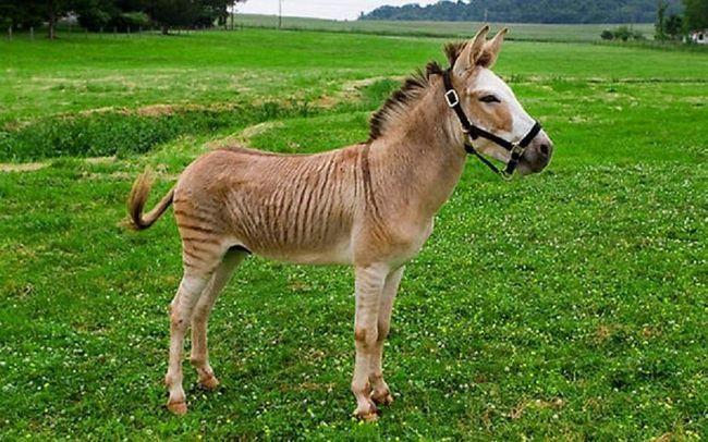 Як не крути, а гібрид зебри і поні - дуже симпатична конячка.