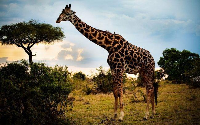 Жирафи прикрасять Новосибірський зоопарк вже до наступного серпня.