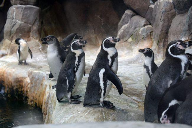 Пінгвіни Гумбольдта вже прибули до Новосибірська і чекають, коли для них приготують приміщення.
