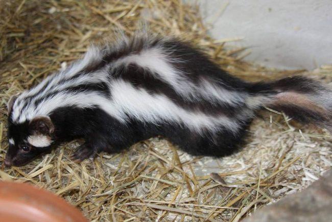 Самка африканського тхора народжує цуценят в норі.